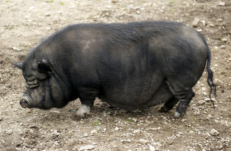 Un típico cerdo vietnamita (Crédito: Shutterstock)