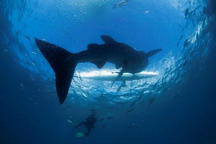 Este componente en el hígado del animal lo ayuda a controlar su flotabilidad (Reuters)
