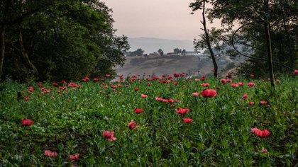 Cultivos de amapolas que crecen cerca de la comunidad de Ahuixotitla en el estado mexicano de Guerrero. Esa región es una de las principales productoras de la materia prima utilizada para la fabricación de heroína (Foto: The New York Times)