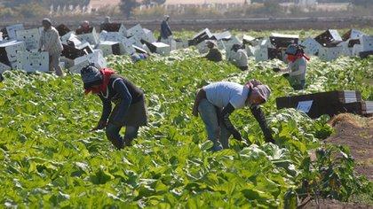 En Michoacán hubo un registro de 39,000 braceros: sin embargo, se estima que pueden ser más de 100,000 personas a las que se les adeuda en el estado (Foto: Archivo)