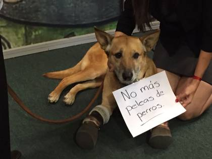 Ahora, el can se manifiesta en contra de las peleas de perros (Foto: cortesía Milagros Caninos)